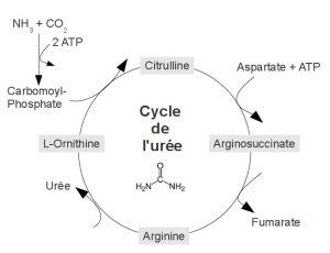 cycle de l'urée citrulline arginine